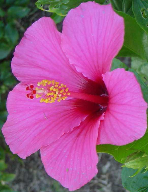 fleur de la reunion