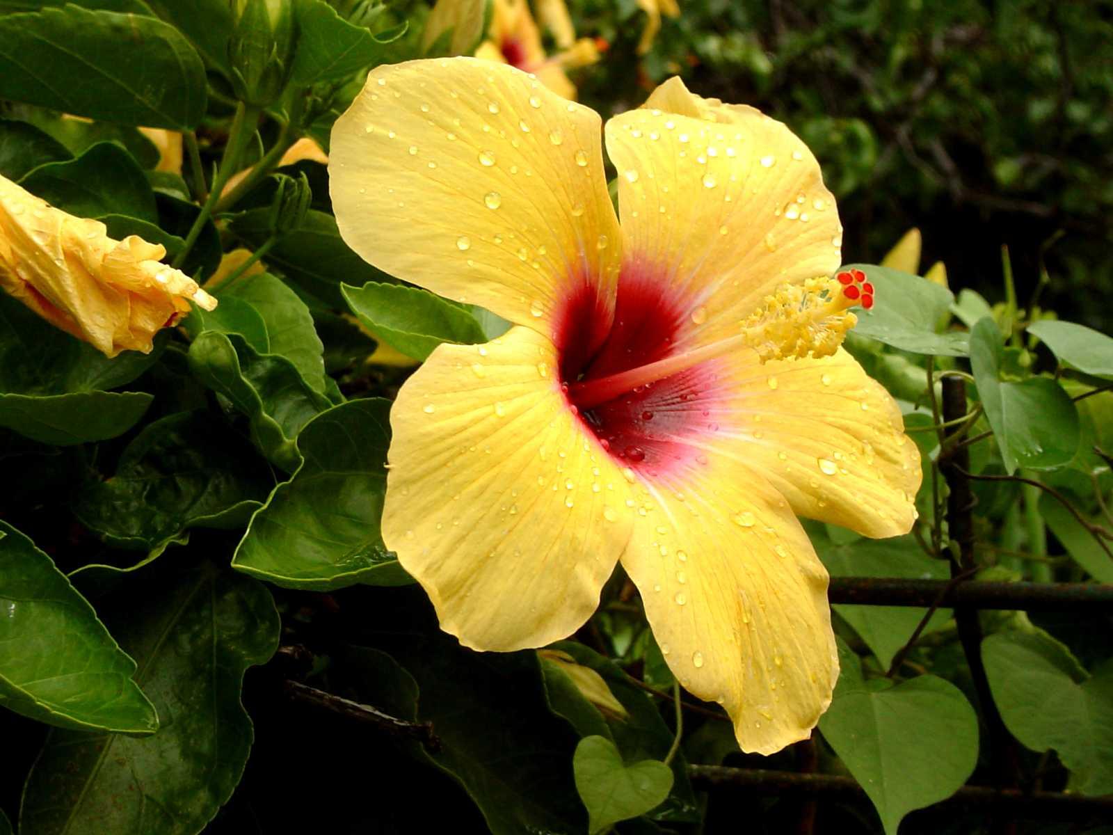 Favori Fleur d'hibiscus (Ile de La Réunion - mars 2003) © Joël Robreau  NJ89